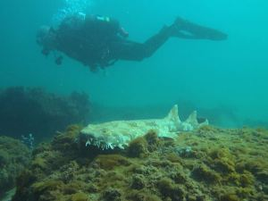 Wobbegong at Shelly Beach - Image courtesy of Janet Clough